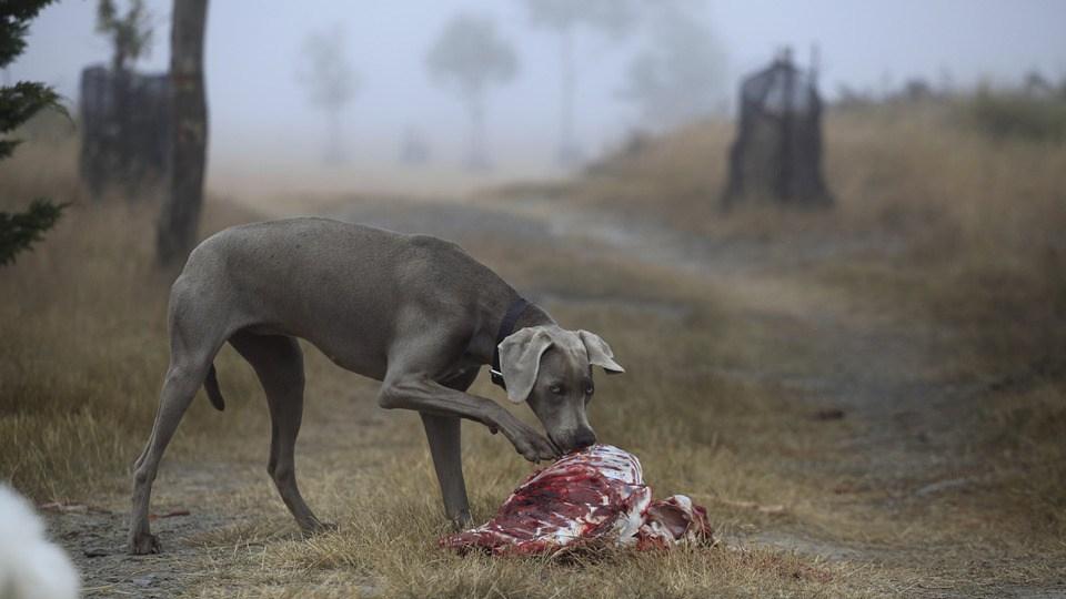 perro barf comiendo dieta natural