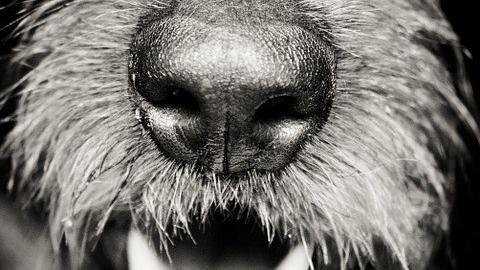 nariz perro sensible a procesionaria