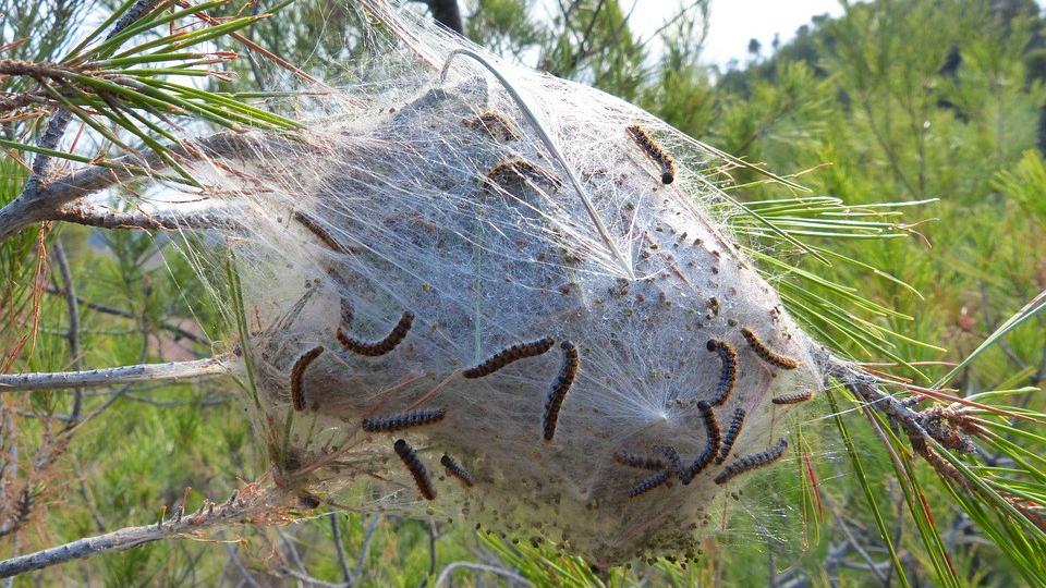 nido preocesionaria peligro para perros y niños