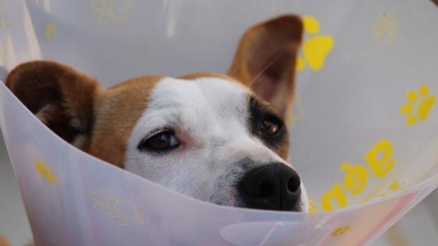 donación sangre en perros, perro con campana