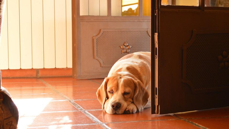 ansiedad por separación, perro esperando en la puerta