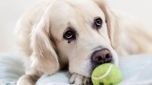 perros ansiendad por separación