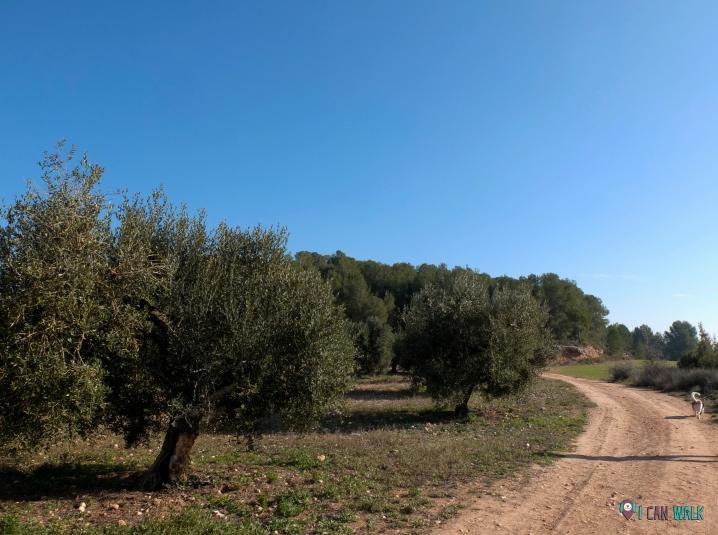 Senderismo con perros, campo de olivos