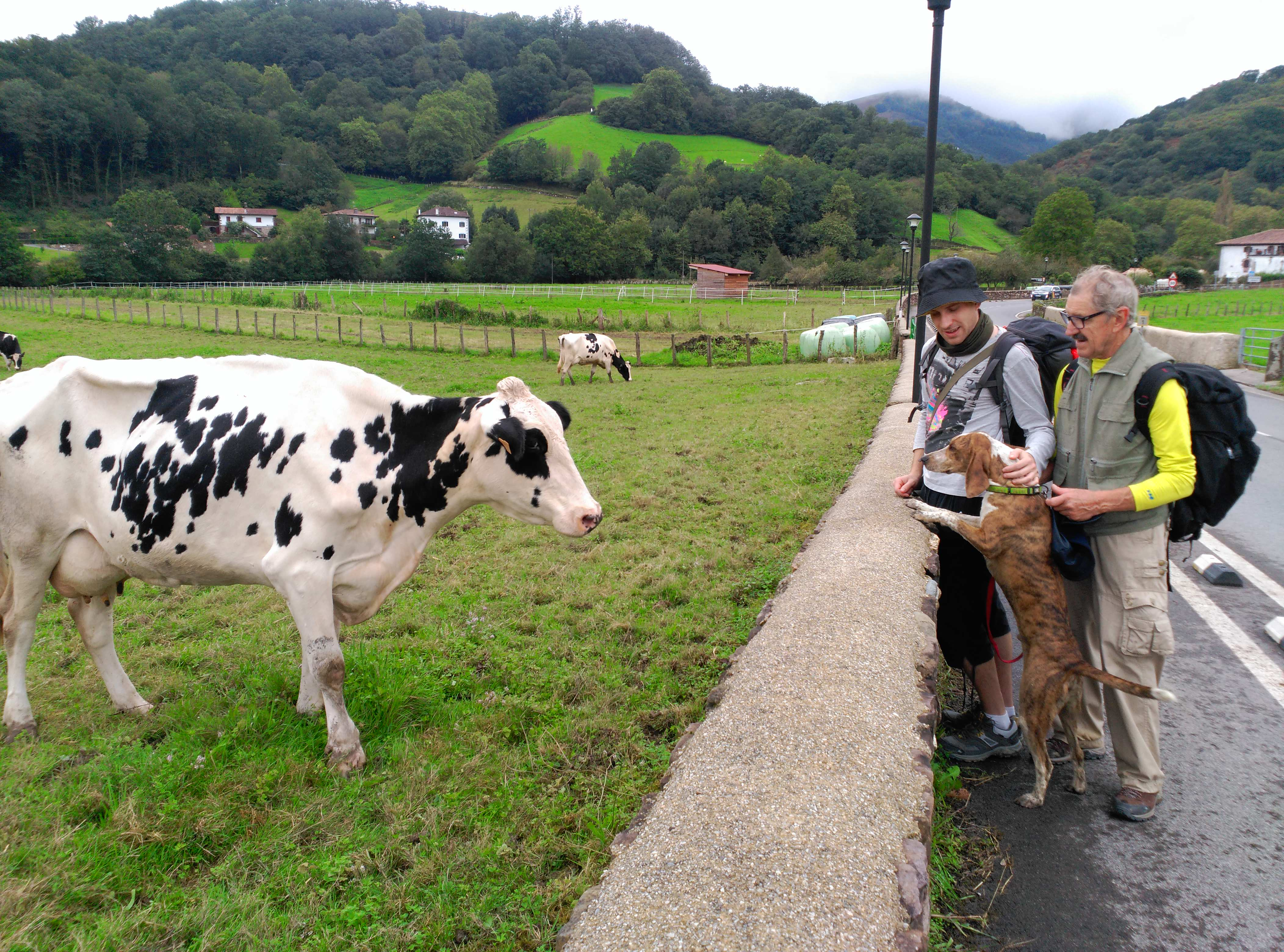 Camino con perros: Segunda Etapa Urdax Byron y su primer encuentro con una vaca