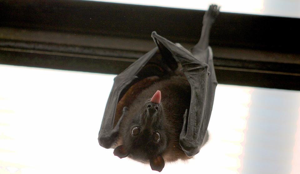 Desmitificando los murciélagos
