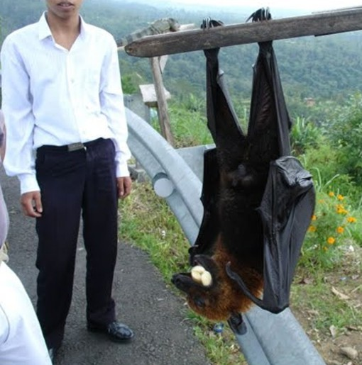 Zorro volador filipino, Acerodon jubatus