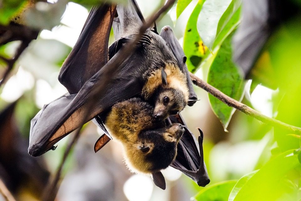 Desmitificando los murciélagos, madre murcielago