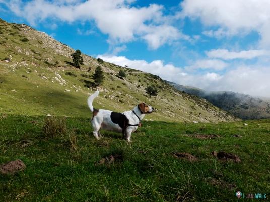 Milka mirando cabras montesas