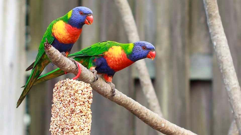 especies exóticas y especies invasoras, aves