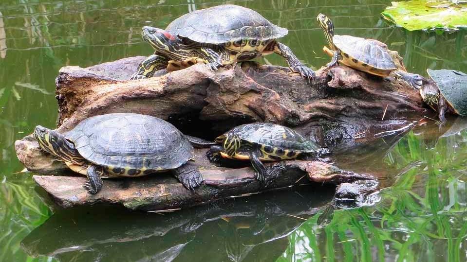 Exóticas invasoras, tortuga de florida